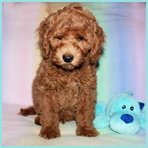 Optigen Eye Testing Dogs